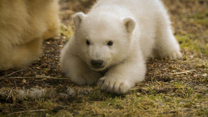 Белый медвежонок  в шотландском зоопарке