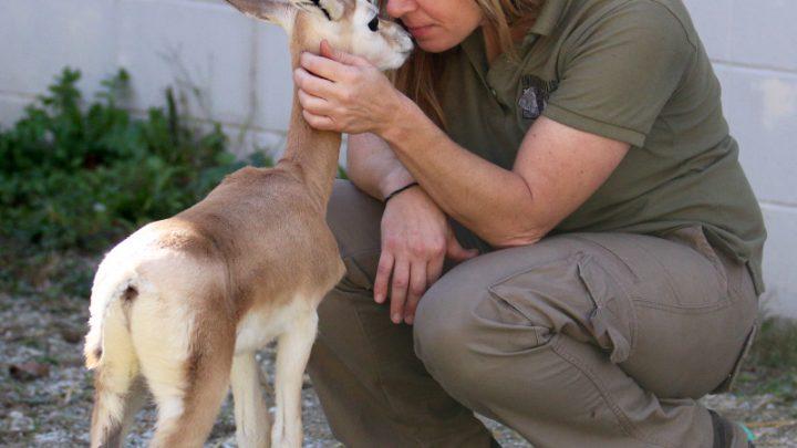 Детеныш  газели-дама в зоопарке Индианаполиса