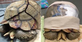 В Сан-Диего спасают огромную черепаху с трещиной в панцире
