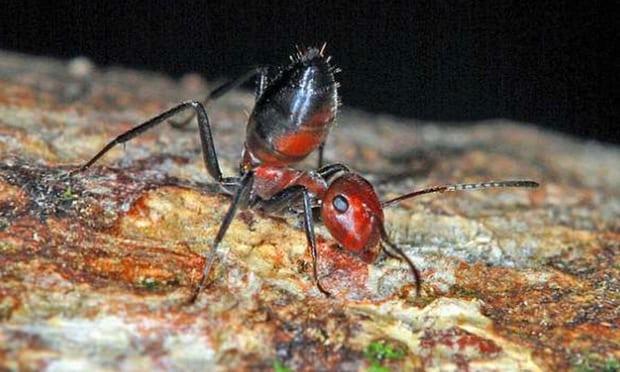 T-ant-T: встретить взрывающихся муравьёв Борнео
