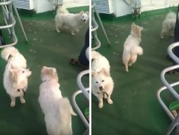 В Приморье благополучно разрешилась эпопея со спасенными моряками щенками