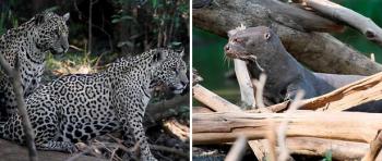 На видео засняли как стайка бразильских выдр напугала ягуара