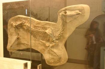 Гиппарион — трехпалая лошадь древности