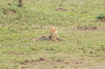 Жил-был гепард… Трагическая история со счастливым концом