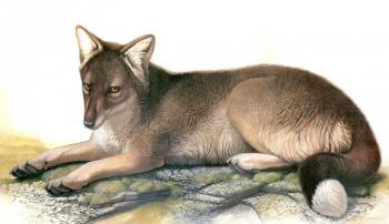 История исчезнувшей фолклендской лисицы