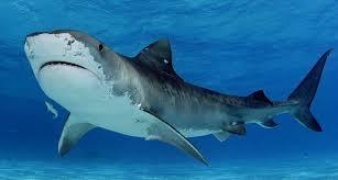 Скажите «нет» ловле акул