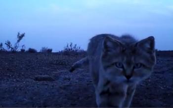 В пустыне Кызылкум сняли на видео редкого барханного кота