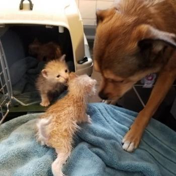 Пес обнаружил брошенных котят и стал для них «приемным папой»