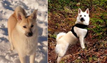 Бухунд, Кеесхонд и ещё 8 пород собак, о которых вы никогда не слышали