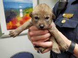В отделение полиции Иллинойса принесли щенка, который оказался совсем не собакой