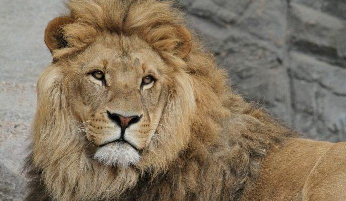 Кровавых львов выпускают, в Южной Африке были выпущены 19 львов на прошлой неделе; Будет ли еще 80 дальше?