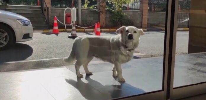 Верная собака следует за машиной скорой помощи и почти неделю ждет, чтобы воссоединиться со своим человеком в больнице